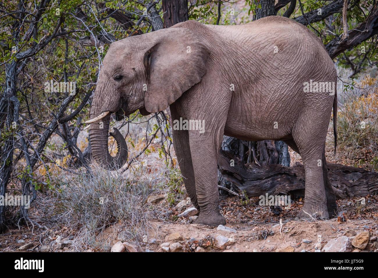L'éléphant du désert de Namibie, l'Afrique, l'un des déserts les plus anciens du Photo Stock
