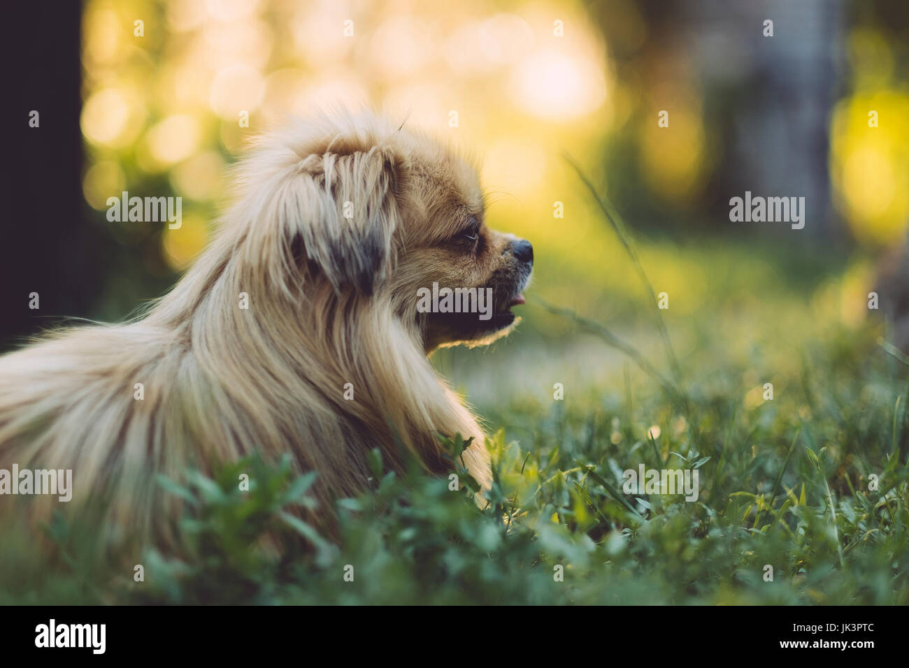 Chien pékinois Photo Stock