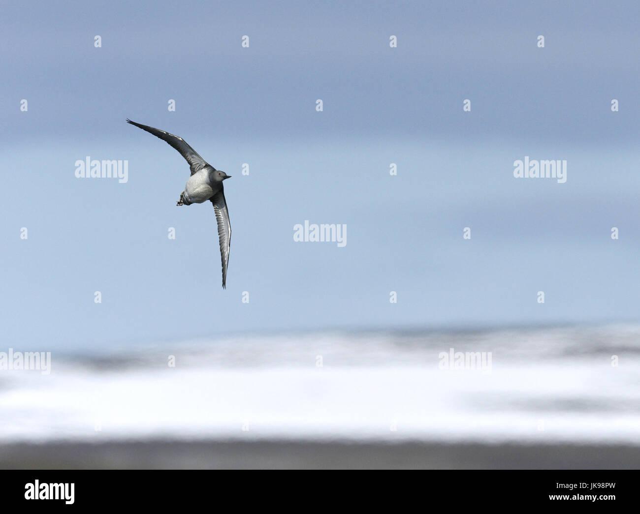 Jiujitsu - Gavia stellata Photo Stock