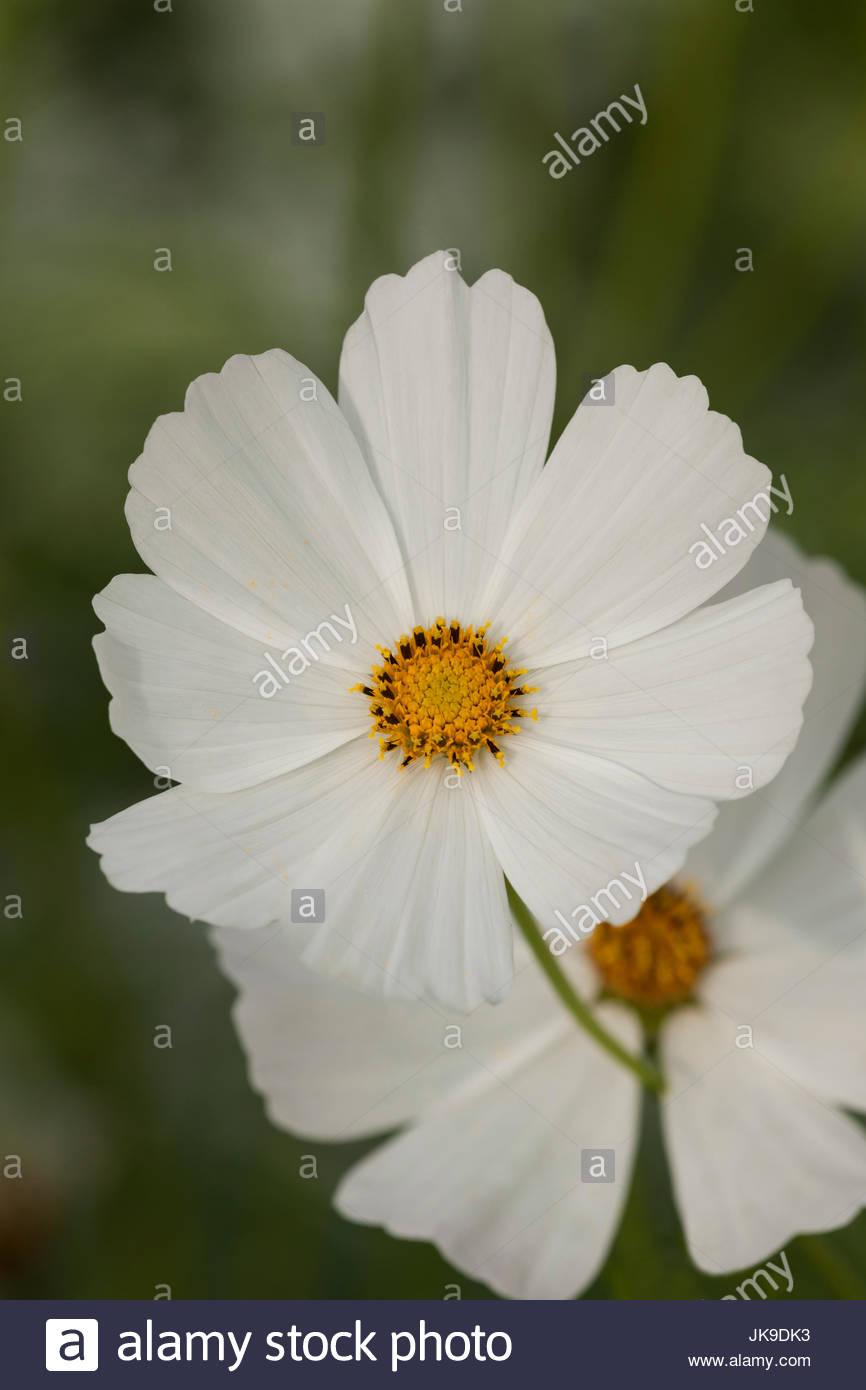 Cosmos bipinnatus 'pureté' Photo Stock