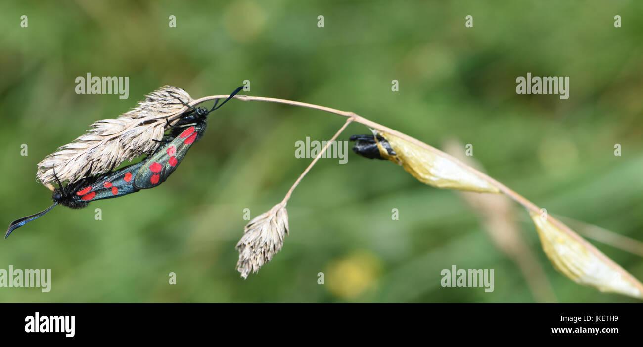 La journée-battant Six-spot burnet moth (Zygaena filipendulae) l'accouplement sur une herbe capitule près de cocons d'où ils ont probablement tout juste de sortir. Banque D'Images