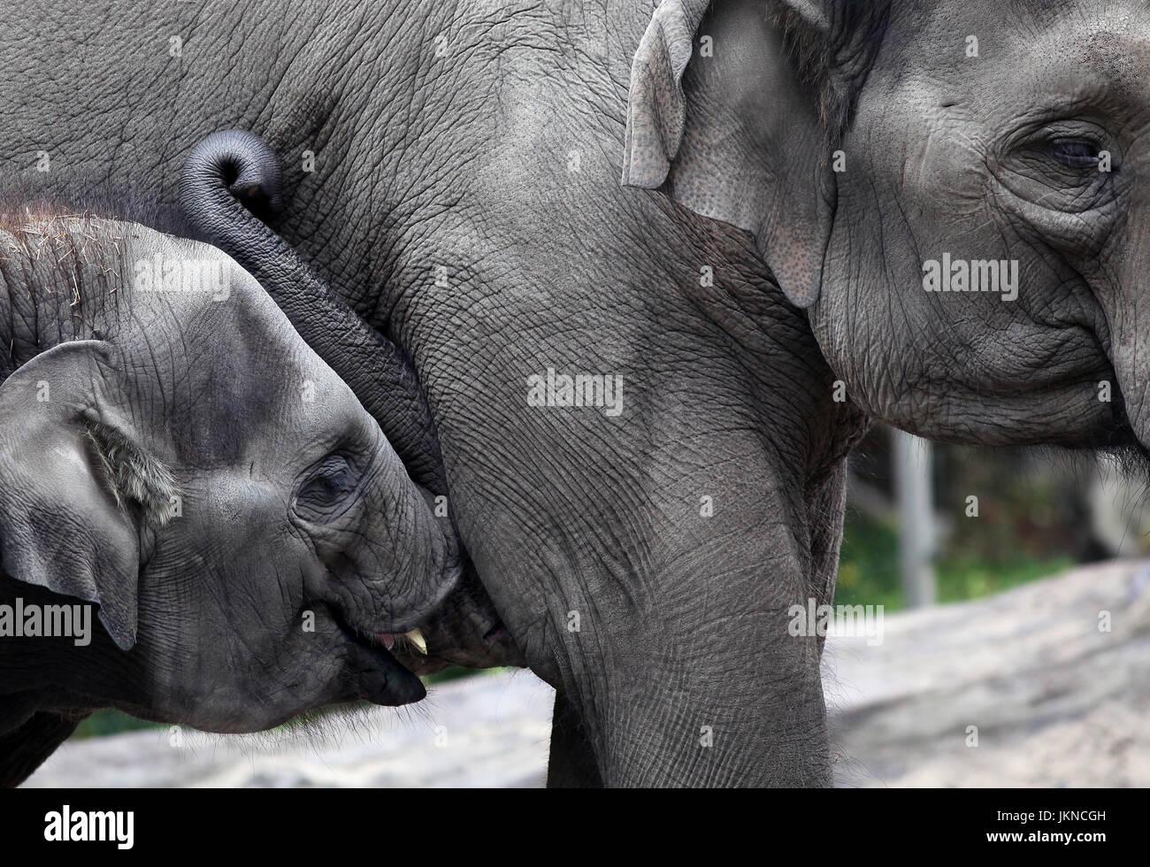 Bébé éléphant de lait de lait de sa mère Photo Stock