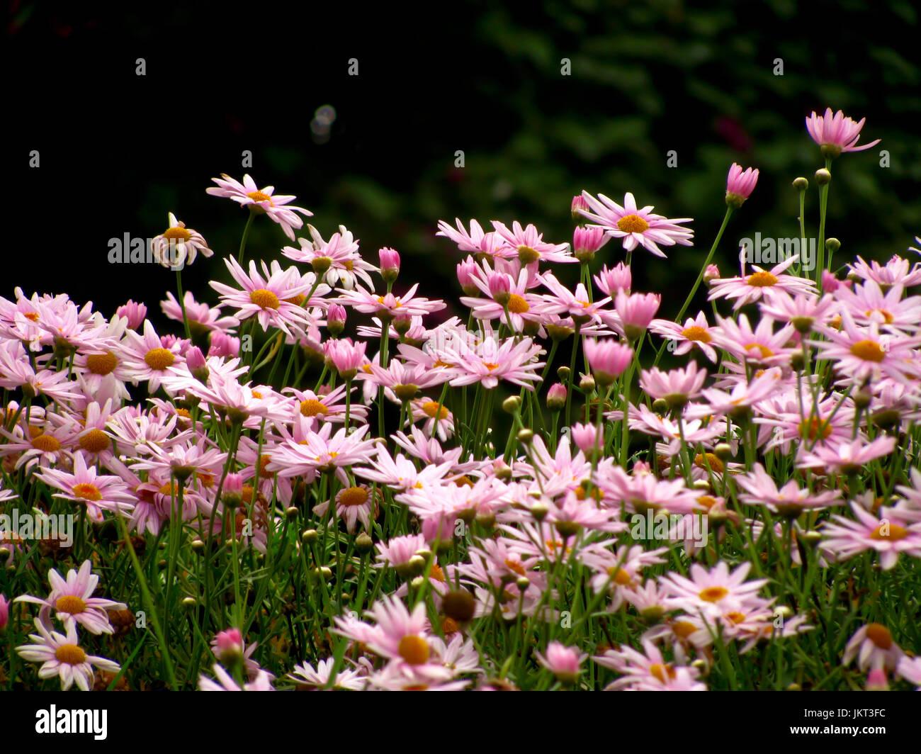Bouquet de fleurs naturelles au jardin d'Ooty, Tamil Nadu, Inde. Photo Stock