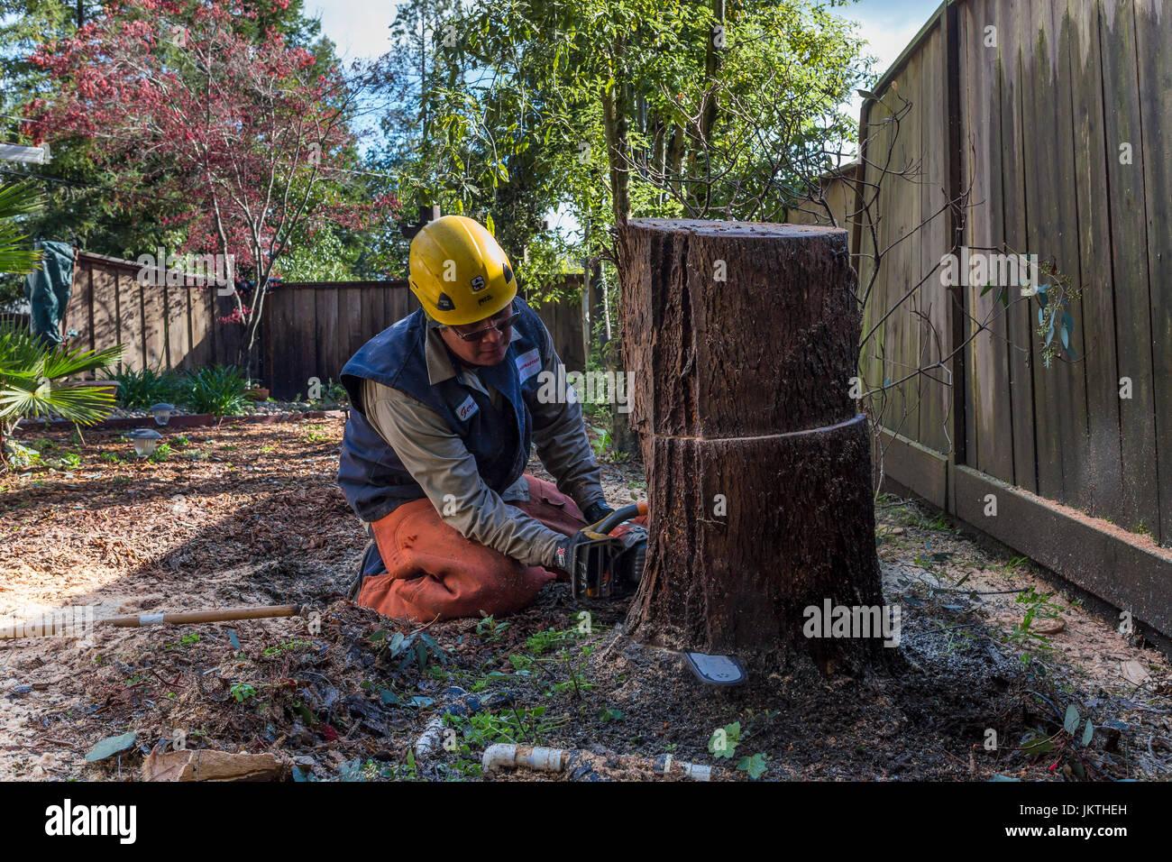 Coupe-arbre, élagage, abattage d'arbre d'eucalyptus, à l'aide de tronçonneuse, de soins Photo Stock