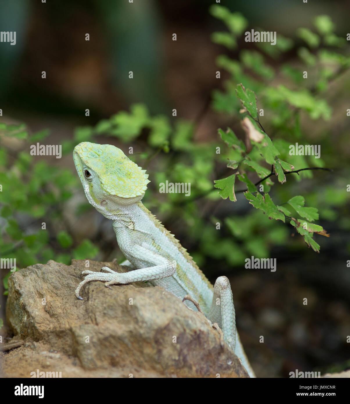 Portrait de lézard basilisk dentelée debout sur rock avec des feuilles en arrière-plan Photo Stock