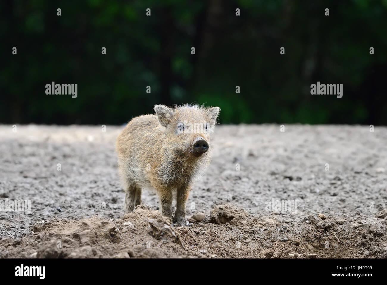 Petit sanglier dans la forêt au printemps Photo Stock
