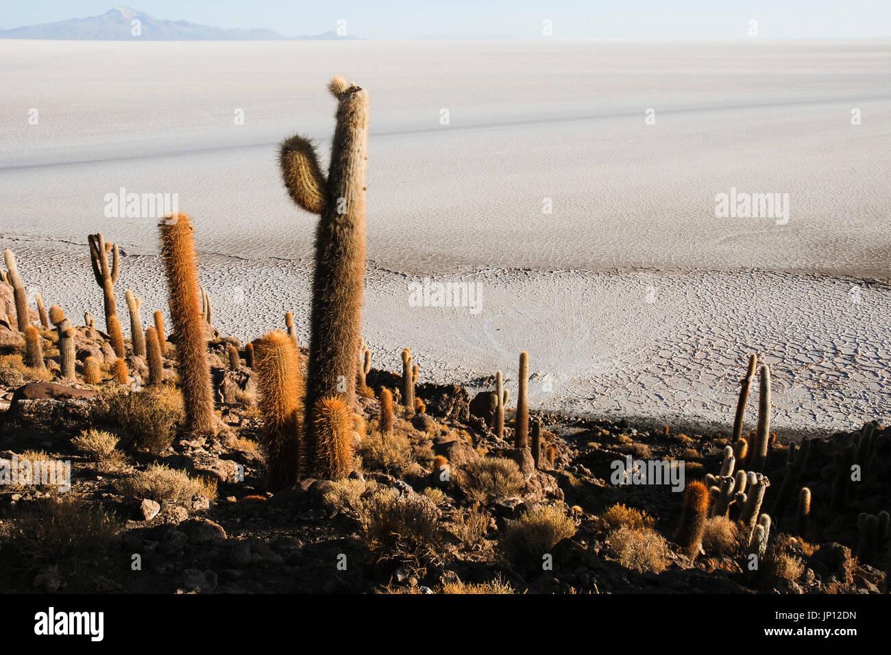 L'Isla del pescado (l'île du poisson), d'Uyuni, Bolivie, Amérique du Sud Photo Stock