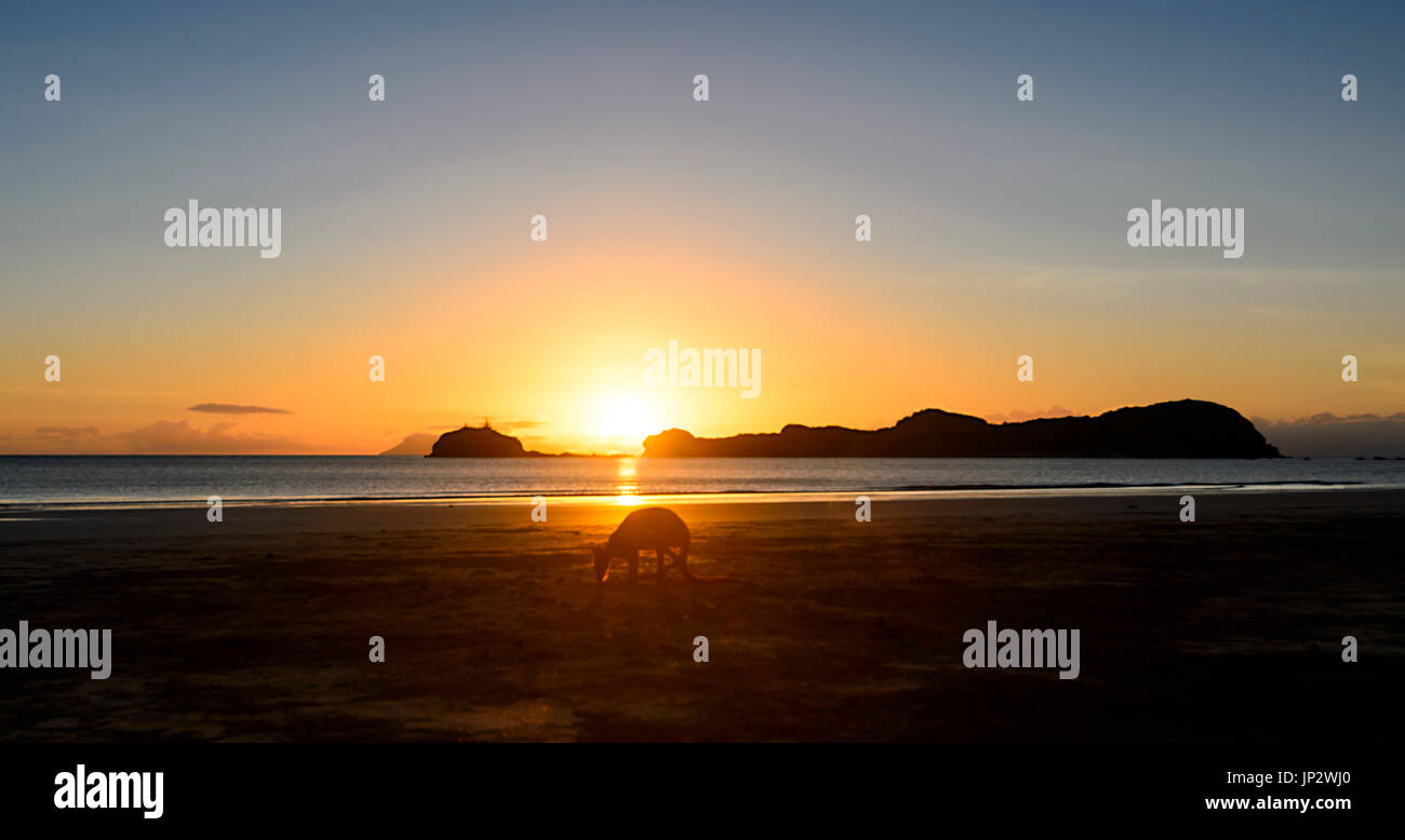 Le Wallaby sur la plage au lever du soleil, le Cap Hillsborough, Queensland, Queensland, Australie Photo Stock