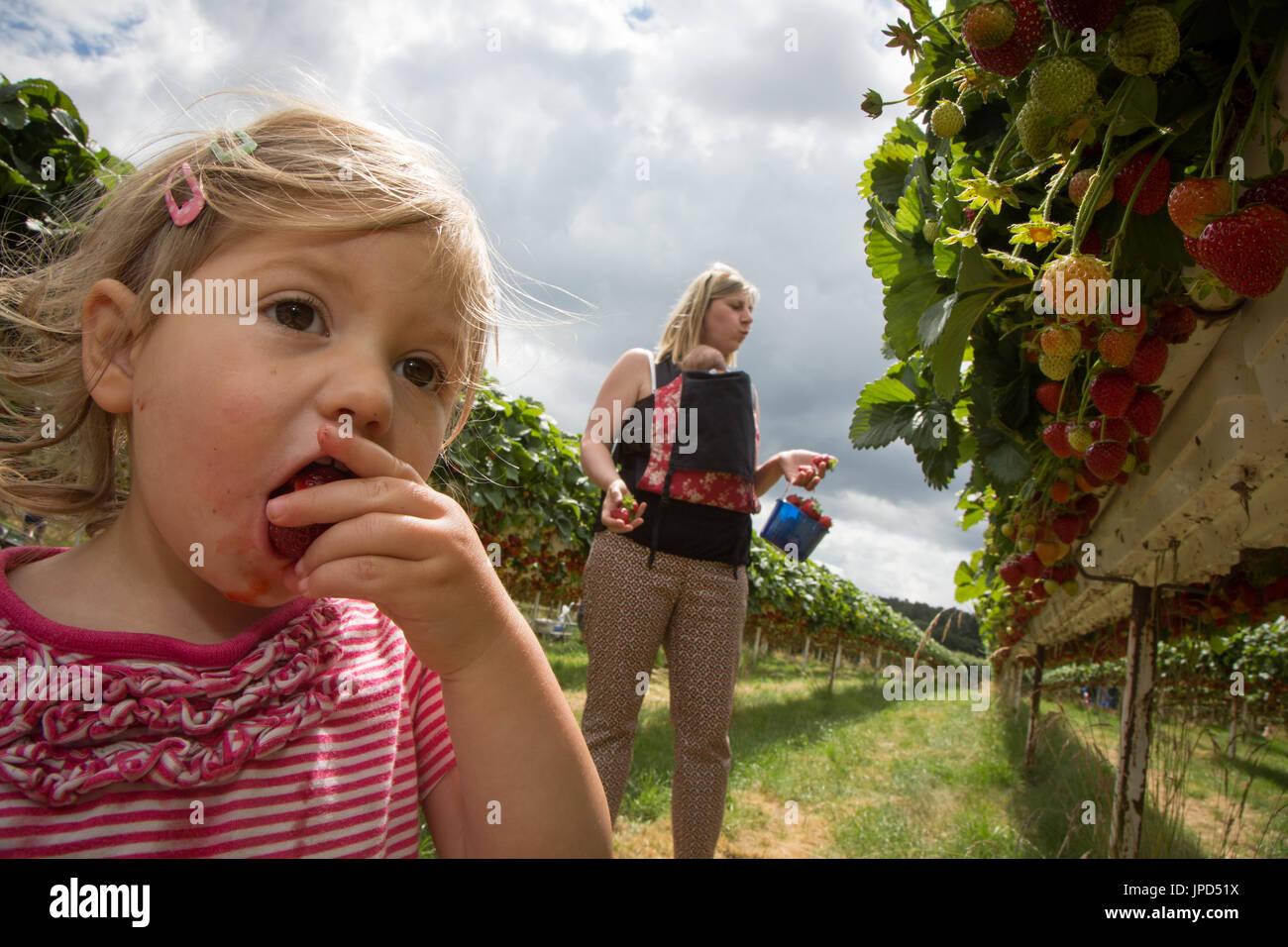 Un bébé fille de 18 mois mange les fraises à un l'autocueillette de la ferme en Angleterre. Sa mère et soeur de bébé sont à l'arrière-plan Photo Stock