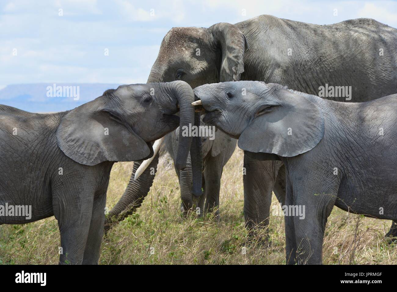 Les éléphants se promènent le Serengeti Photo Stock