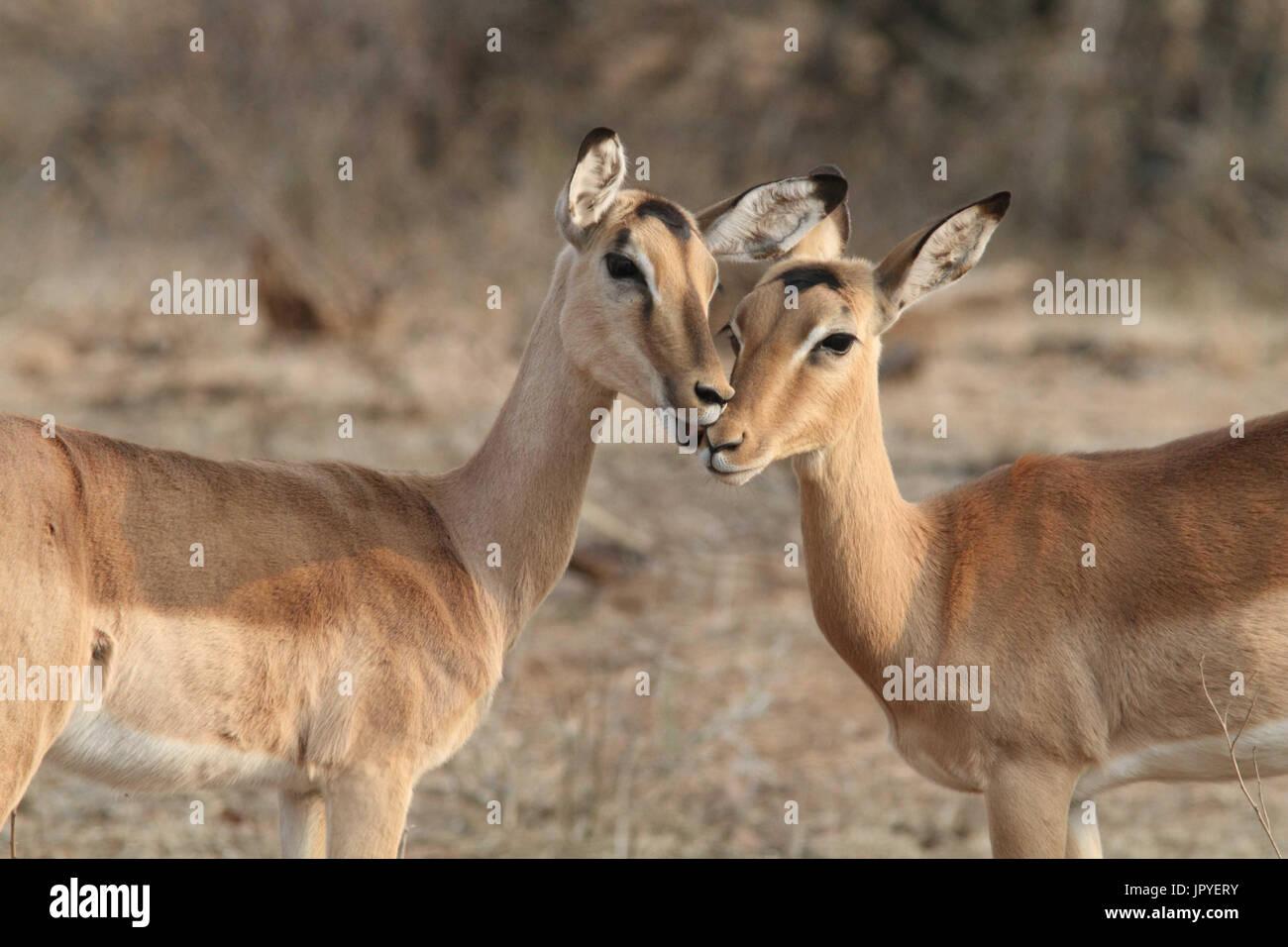 De câliner Les impalas dans la savane - Afrique du Sud Photo Stock