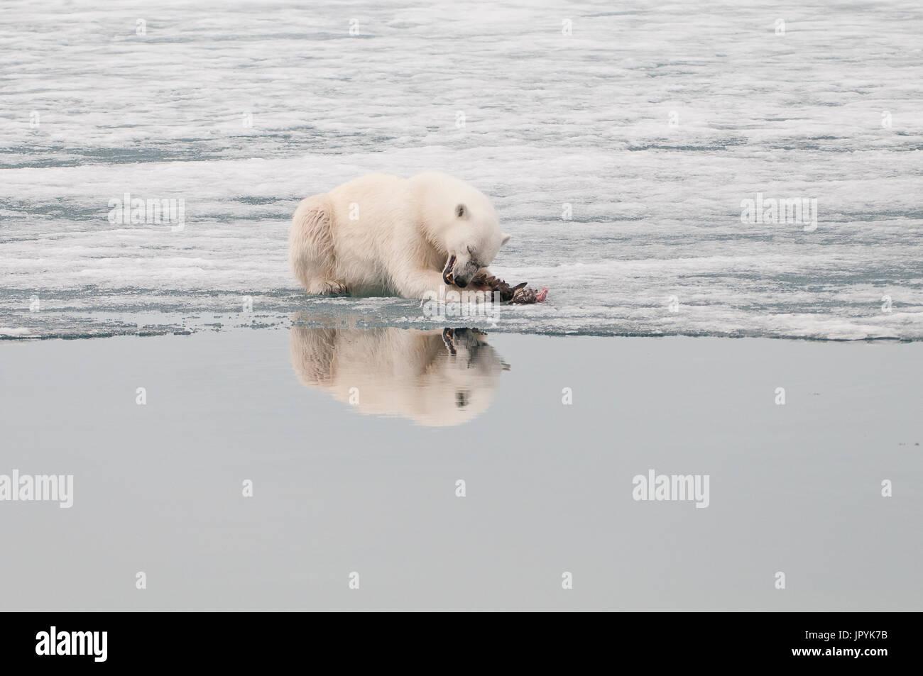 Manger de l'ours polaire un oiseau sur la glace - Spitzberg Photo Stock