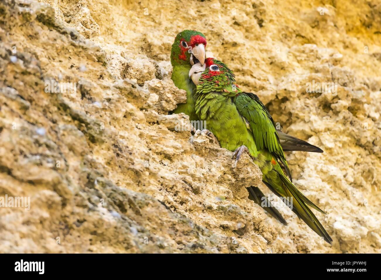 Perruche à onglets (Psittacara mitratus) sur falaise Photo Stock