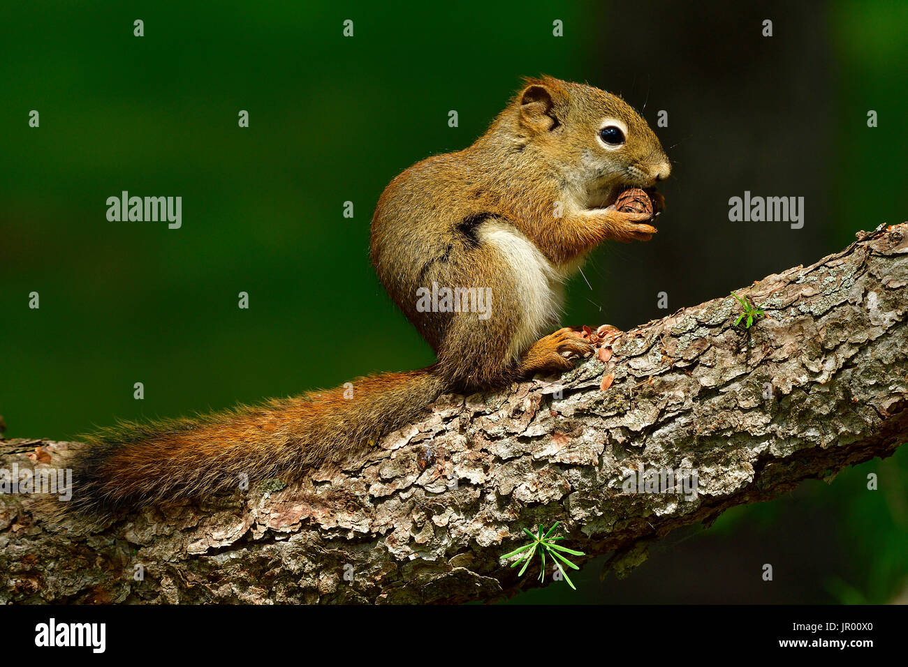 Un écureuil roux (Tamiasciurus hudsonicus); assis sur une branche d'arbre tenant un cône de l'épinette entre ses pattes. Photo Stock