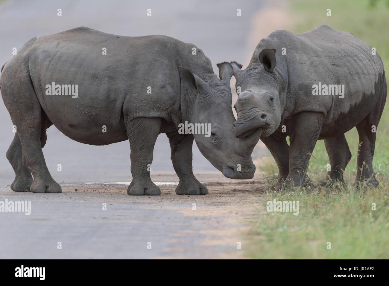 Le rhinocéros blanc (Ceratotherium simum) Jeunes de câlins à l'aube, Kruger, Afrique du Sud Photo Stock