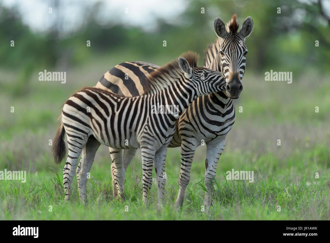Le zèbre de Burchell (Equus burchellii) les jeunes faisant une accolade, Kruger, Afrique du Sud Photo Stock