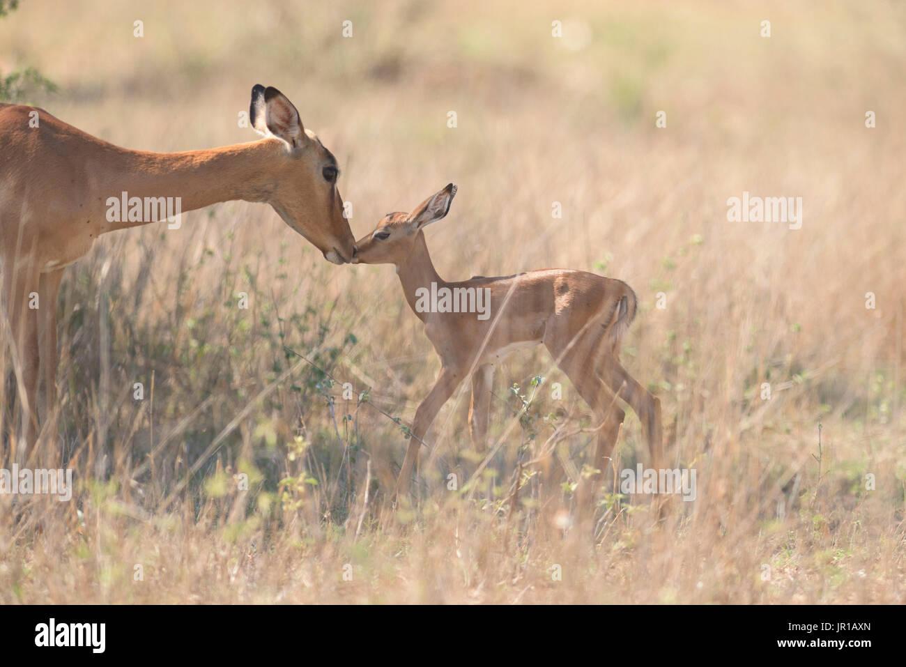 Impala (Aepyceros melampus) de câlins entre la mère et les jeunes, le parc Kgalagadi, Afrique du Sud Photo Stock