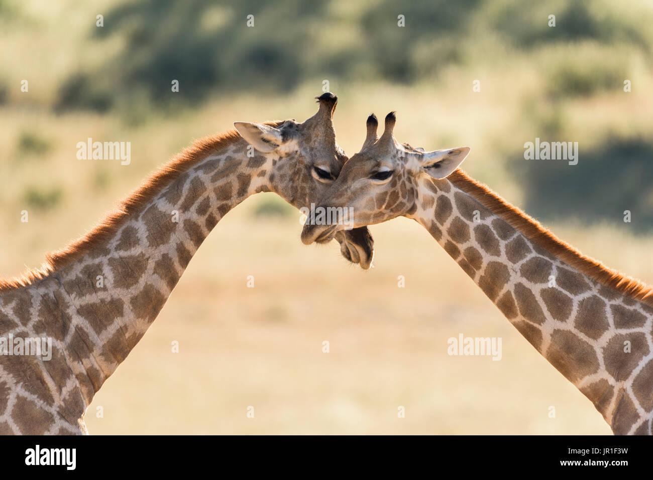 Les Girafes (Giraffa camelopardalis), parc Kgalagadi, Afrique du Sud Photo Stock