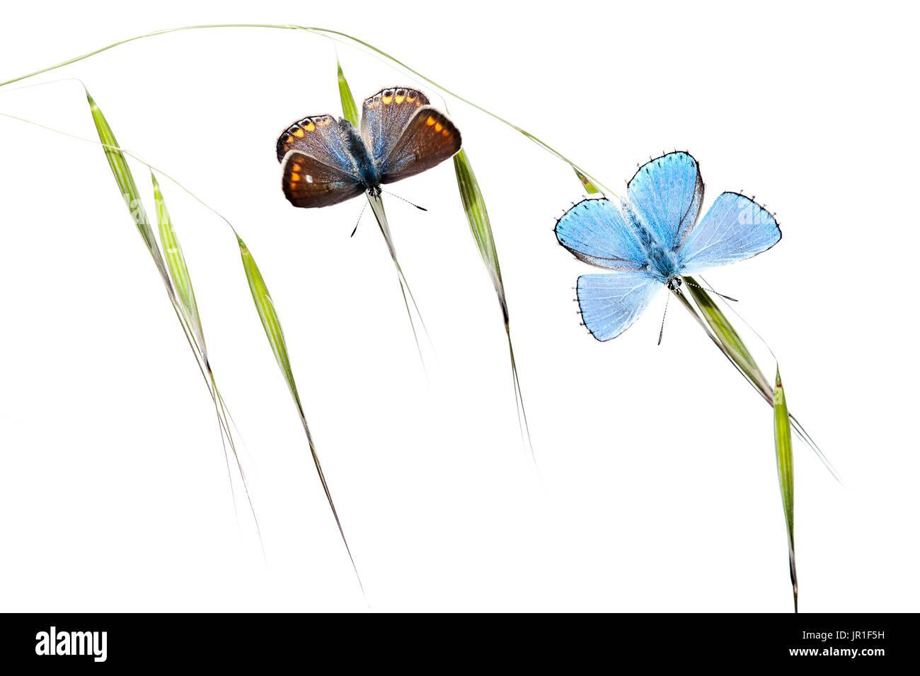 Les papillons se réchauffer à l'aube sur fond blanc Banque D'Images