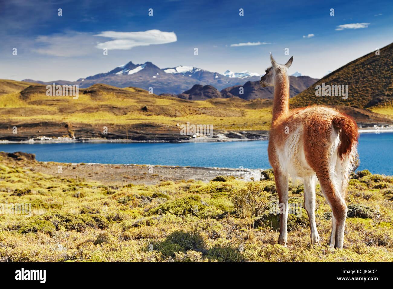 Guanacos dans le Parc National Torres del Paine, Patagonie, Chili Photo Stock