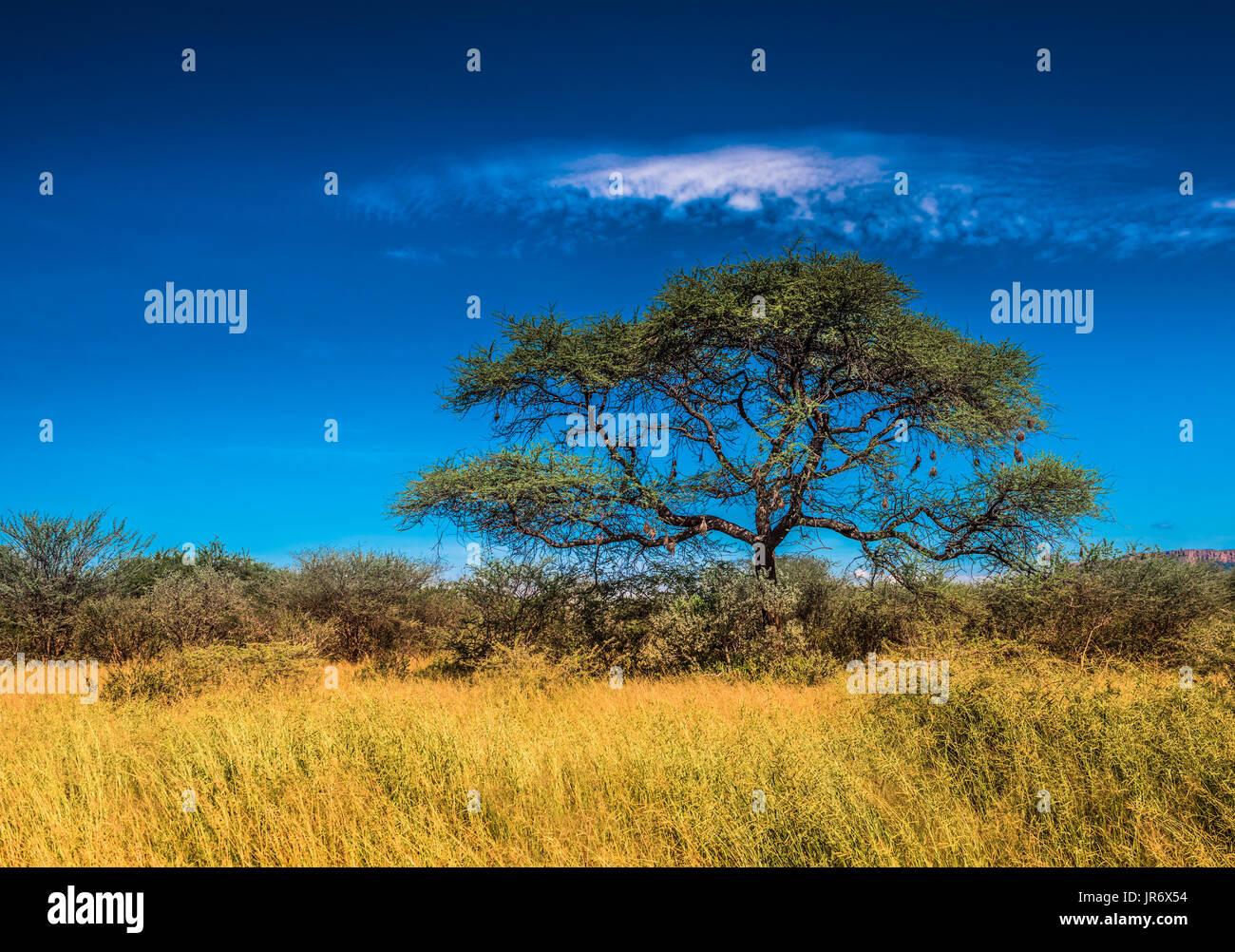 Arbre dans la savane, paysage africain classique Photo Stock