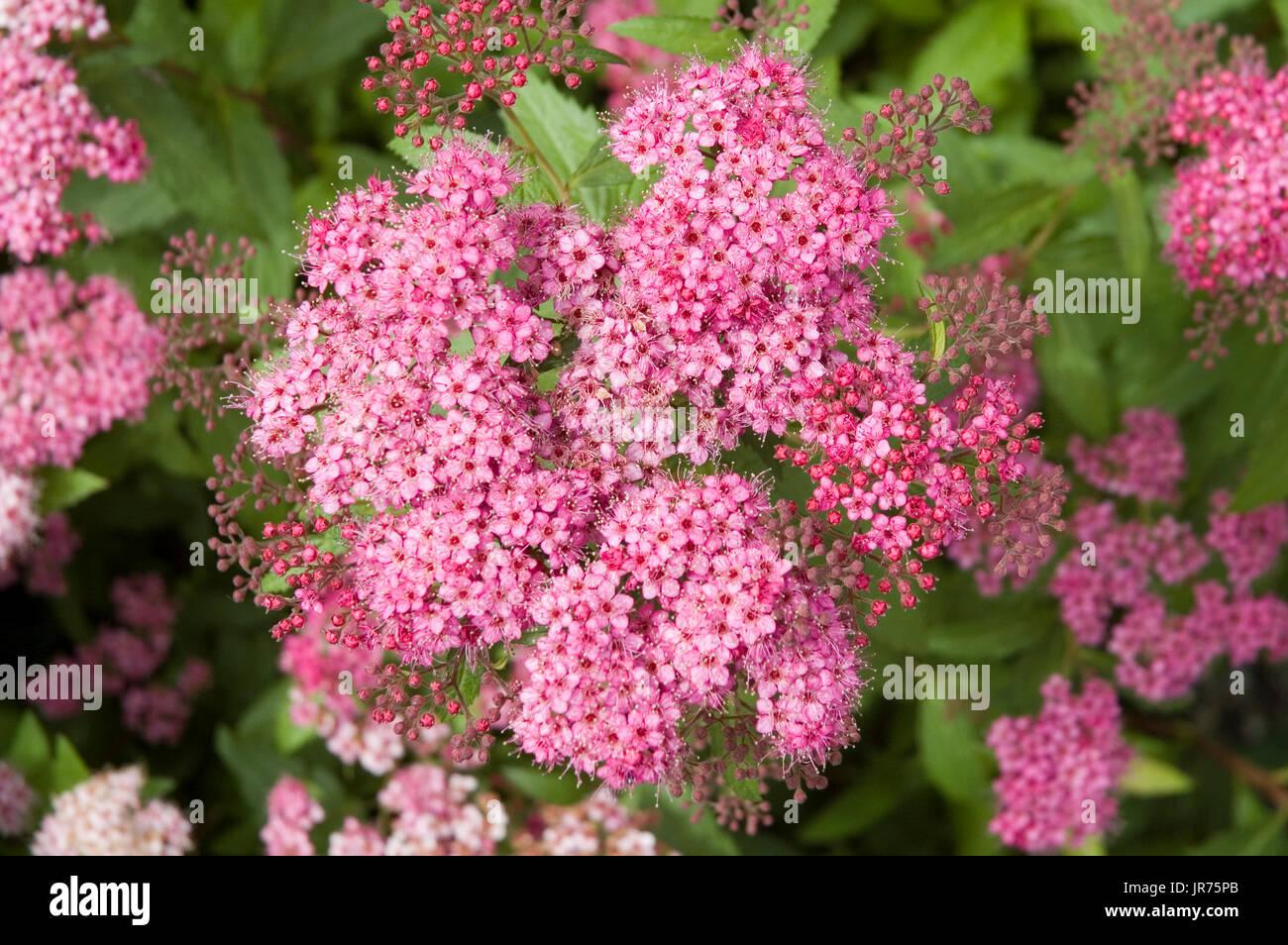 Fleurs Rose De La Spiree Japonaise Banque D Images Photo Stock