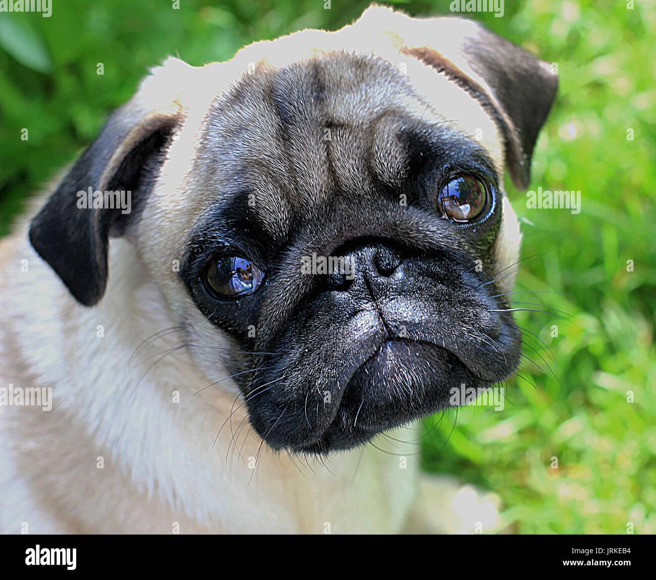 Chiot pug bouleversé Photo Stock