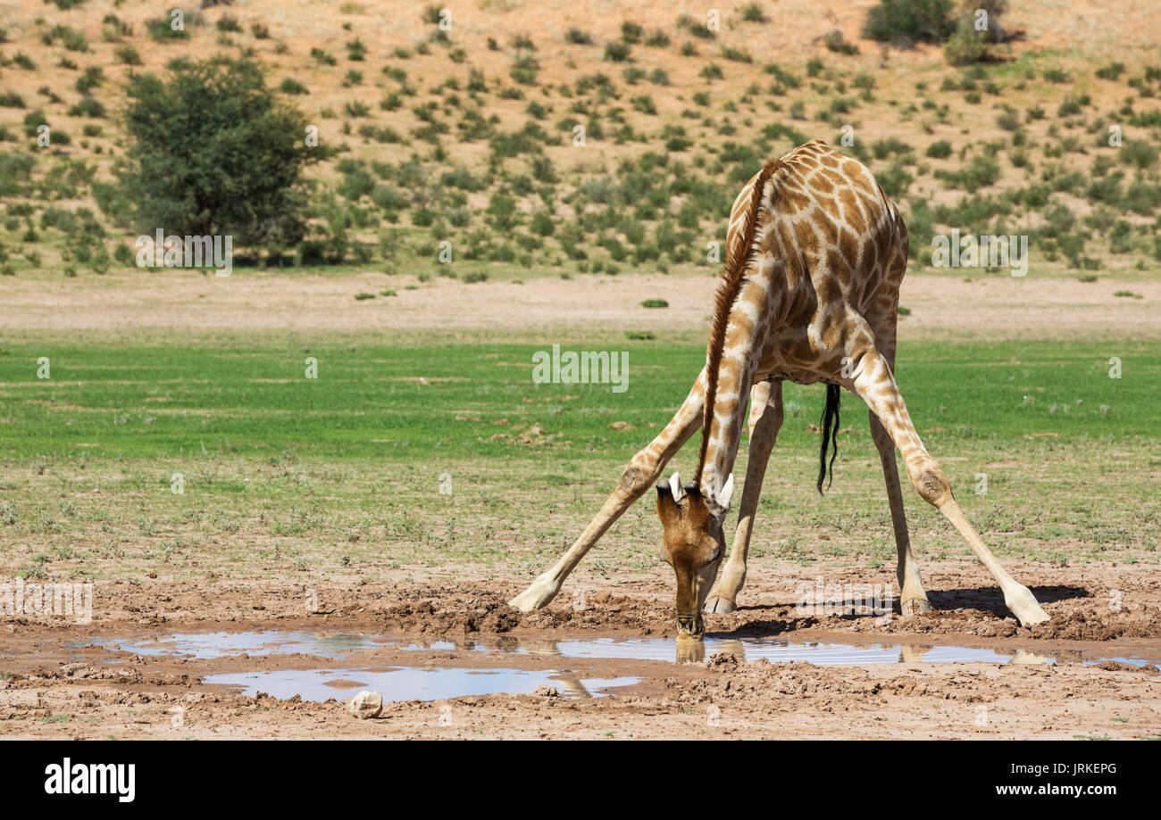 Le sud de Girafe (Giraffa giraffa), homme de boire de l'eau de pluie dans le bassin de la rivière Auob, saison des pluies avec un cadre vert Photo Stock