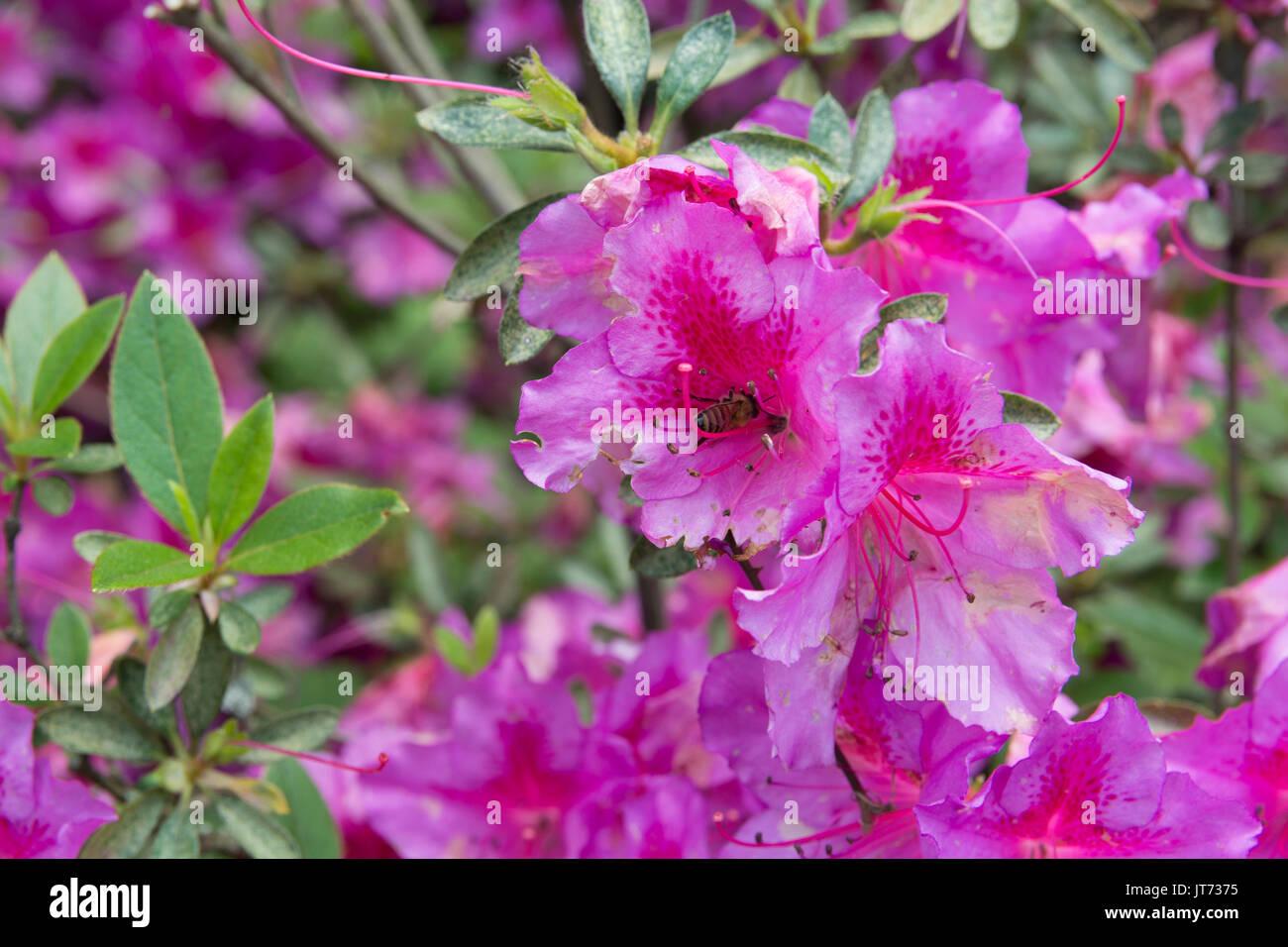 Rose rose chinois ou japonais (Hibiscus rosa-sinensis) est une sorte ...