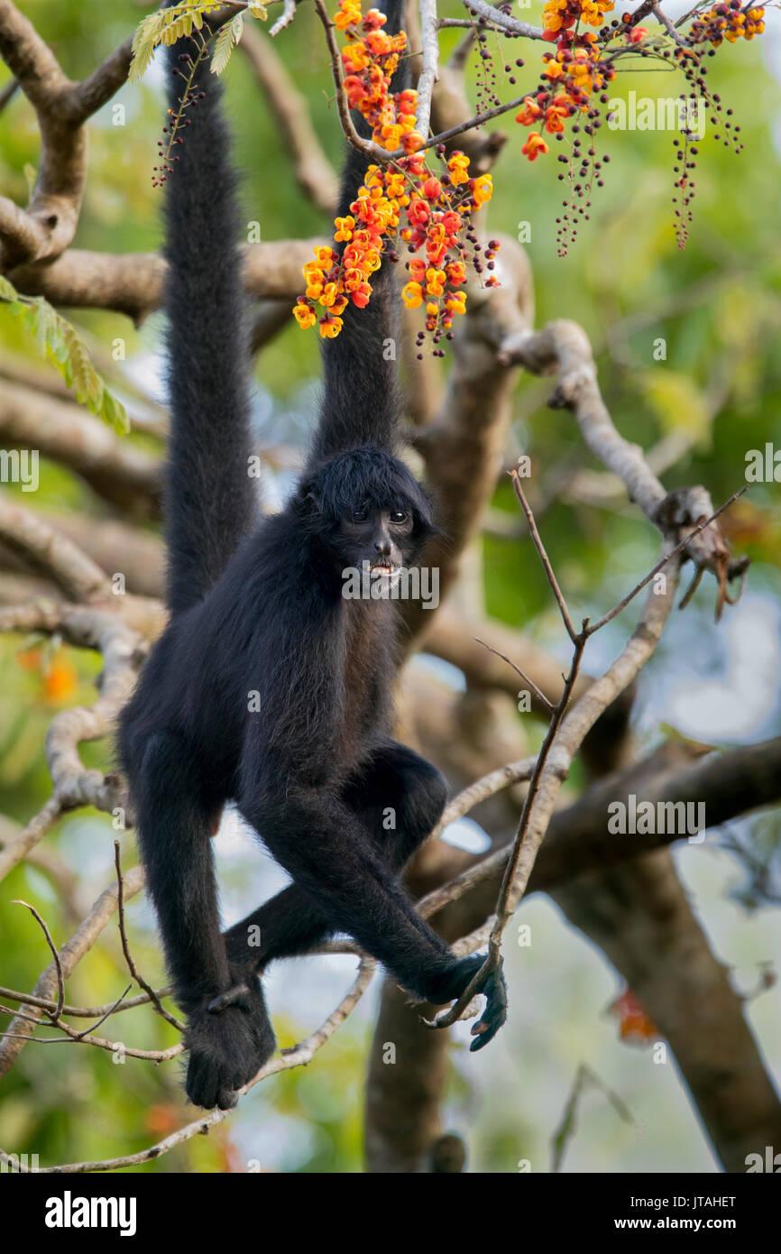 Singe araignée à tête noire (Ateles fusciceps) Parc National Soberanía, Panama, Amérique centrale. Espèces en danger critique d'extinction. Photo Stock