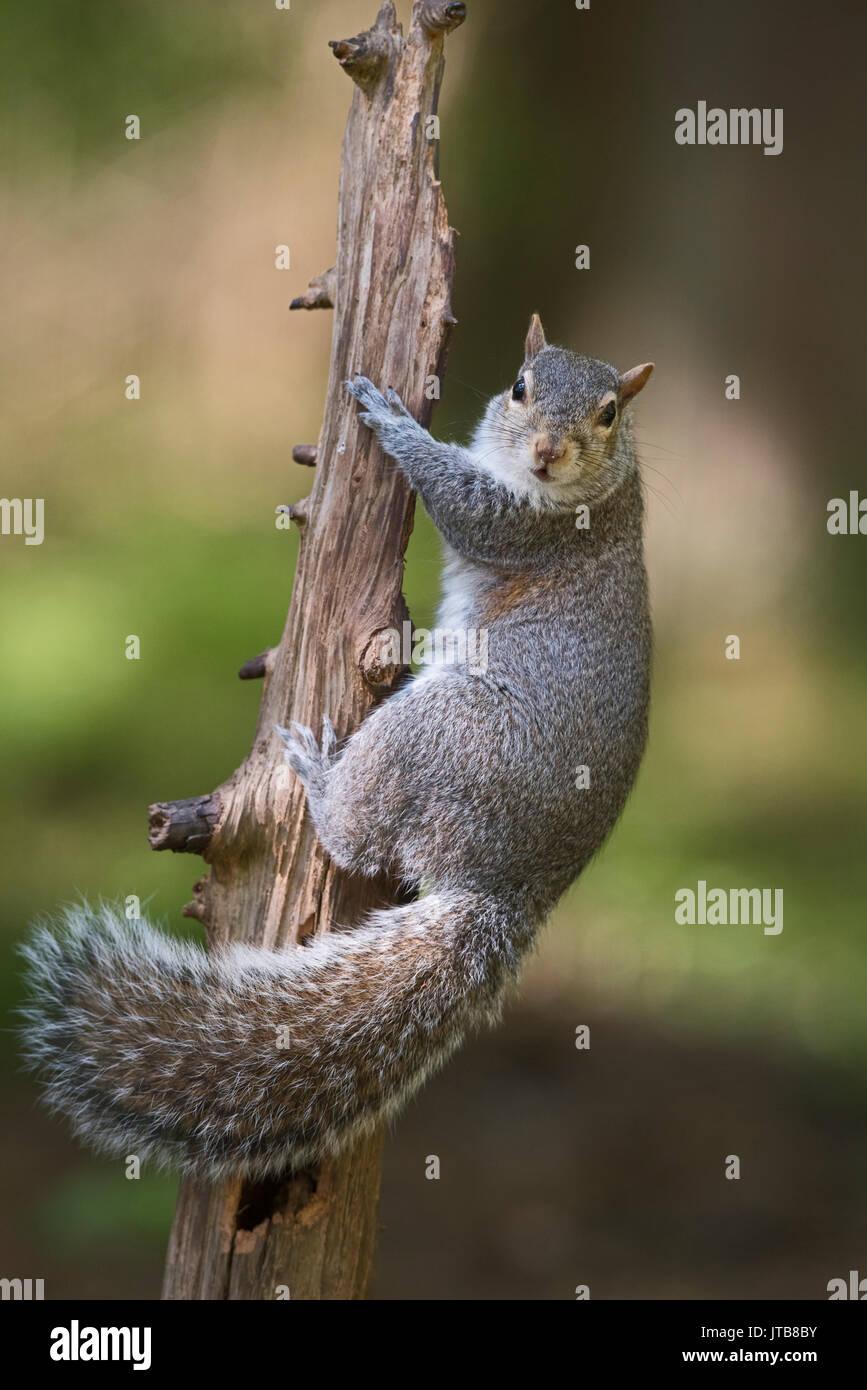 Gray (Gris) de l'Est dans le bois d'Écureuil Sciurus carolinensis North Norfolk Photo Stock