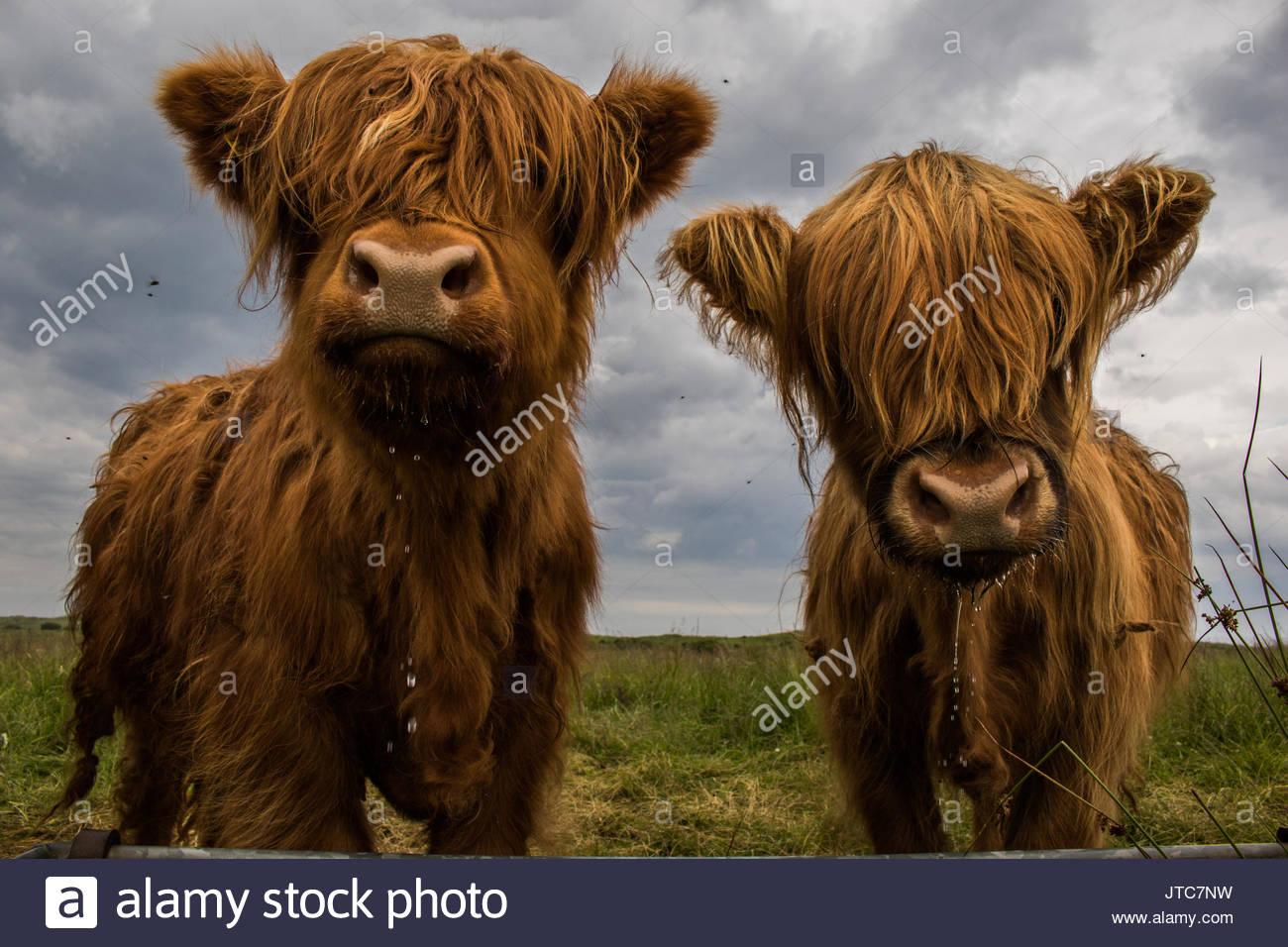 Le chef de l'Highland Photo Stock
