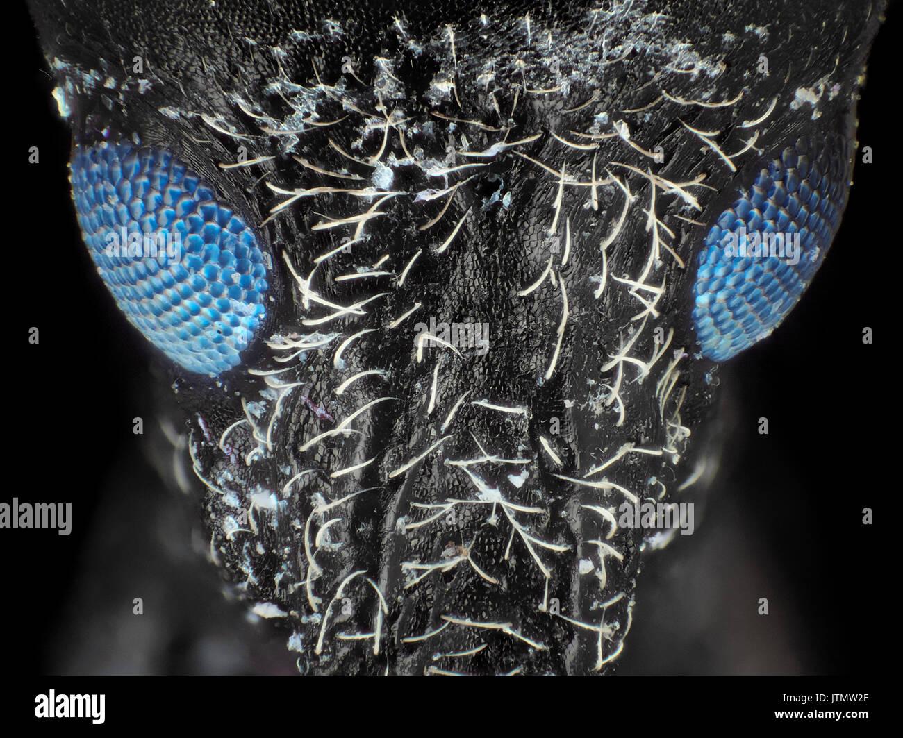 Coléoptère charançon (probablement Larinus carlinae) avec les yeux fluorescent visible, l'ultraviolet + microphotographie, 60x de grossissement lors de l'impression de 10 cm de largeur Photo Stock