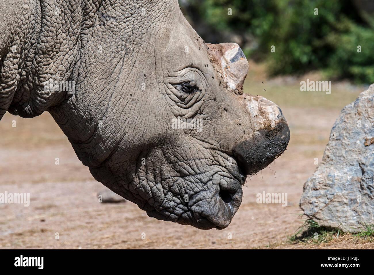 Close up of white rhinoceros / le rhinocéros blanc (Ceratotherium simum) avec cut horns à titre de précaution contre le vol des braconniers Photo Stock