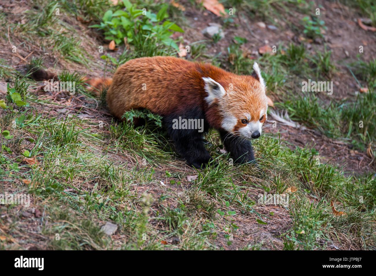 Le panda rouge / petit panda (Ailurus fulgens) originaire de l'Himalaya oriental et le sud-ouest de la Chine Photo Stock