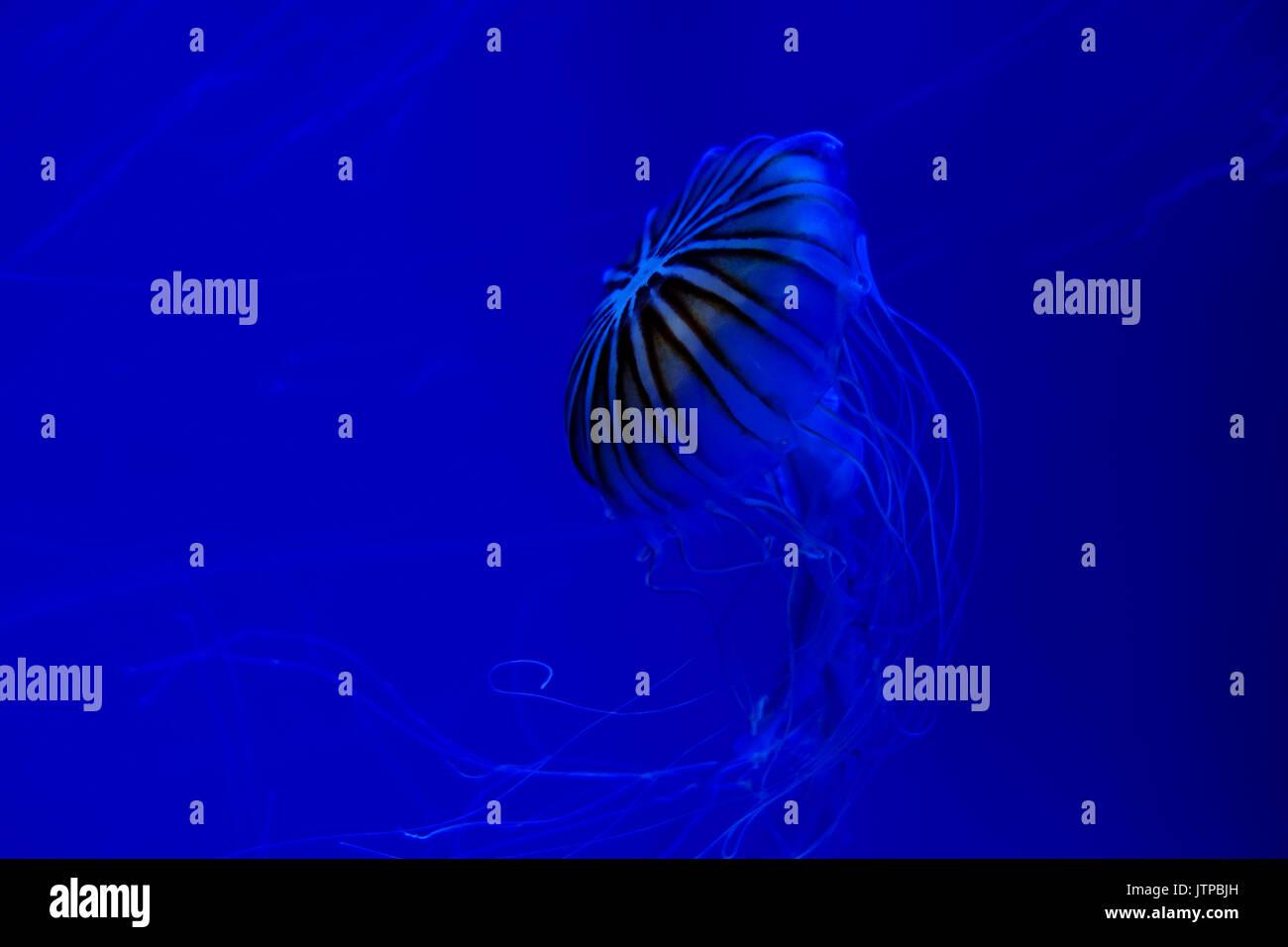 Jellyfish underwater flottante avec des tentacules de nuit Photo Stock