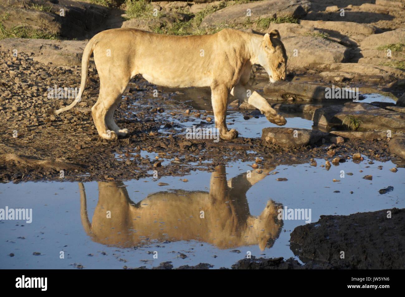 Lionne à piscine de l'eau potable en zone rocheuse, Masai Mara, Kenya Banque D'Images