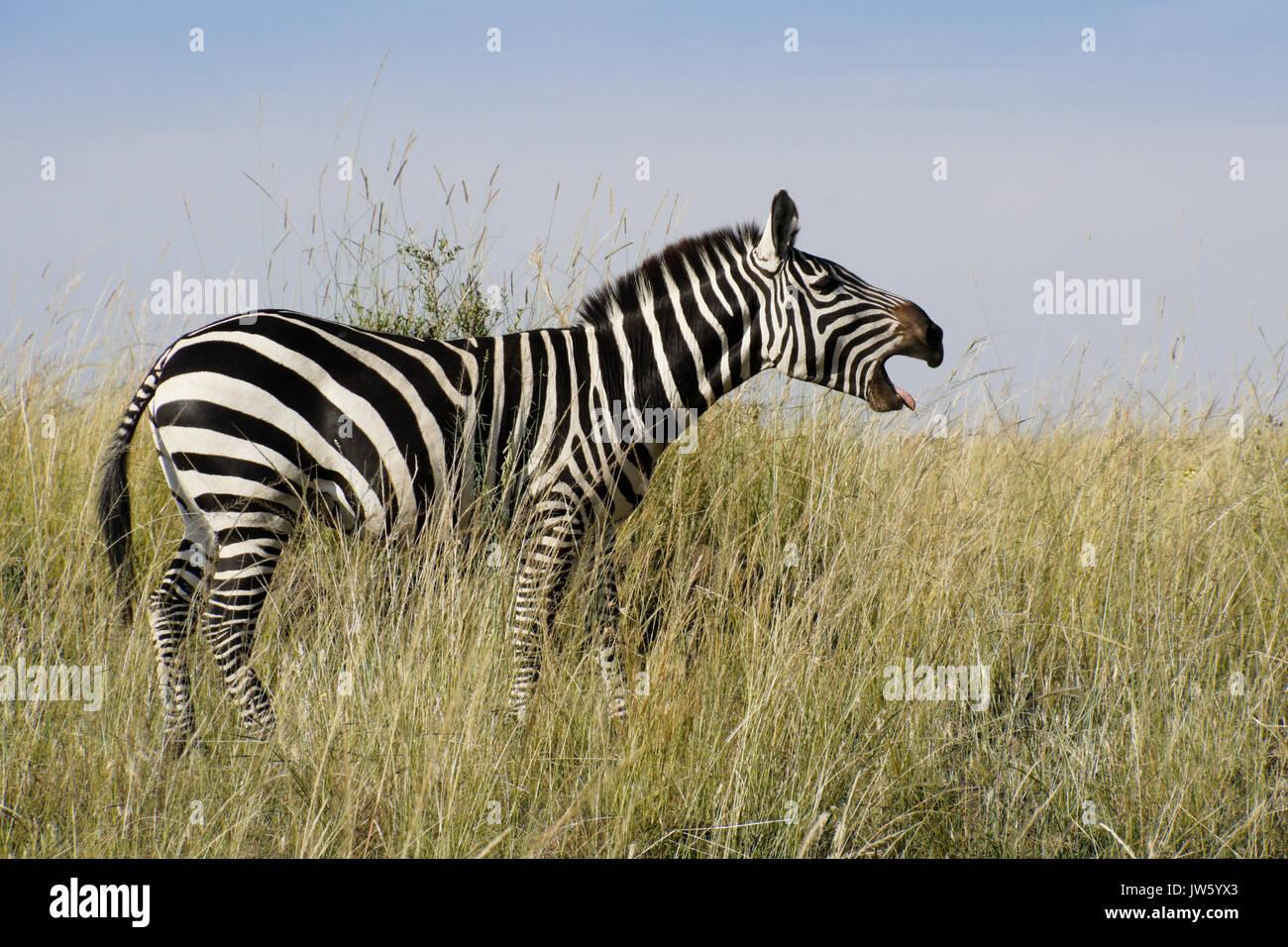 Burchell (commun ou plaine) zebra vocalisant, masai Mara, Kenya Photo Stock