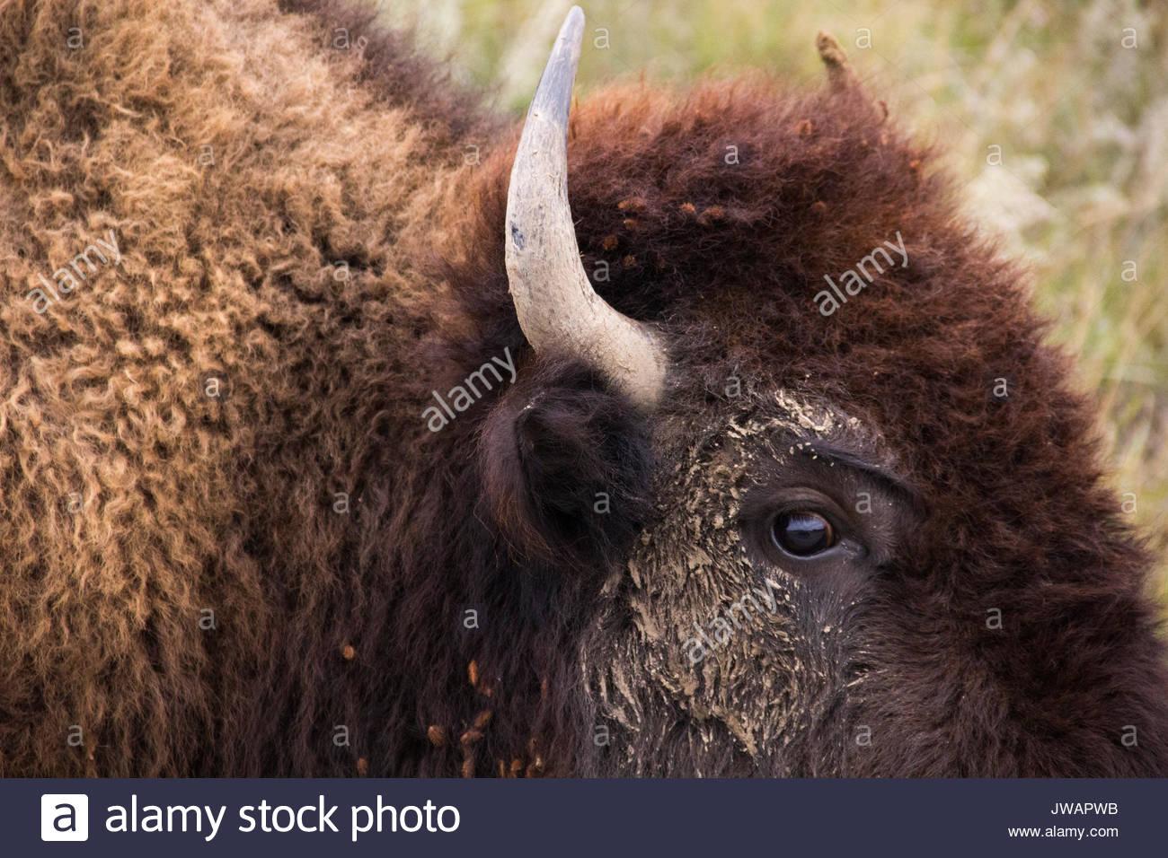 Voir de très près de l'œil et de la corne d'un bison d'Amérique. Photo Stock