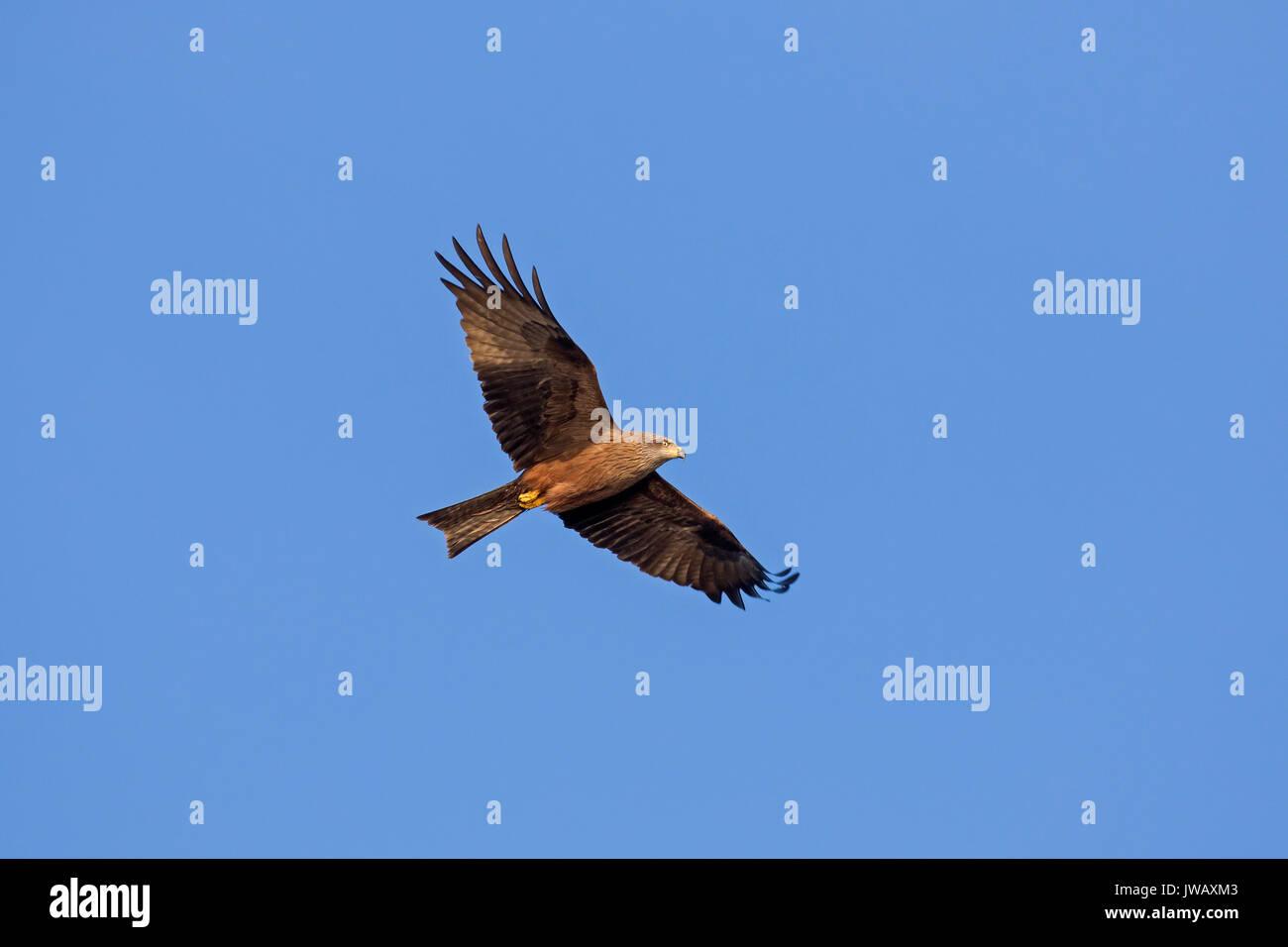 Milan noir (Milvus migrans) en vol sur fond de ciel bleu Banque D'Images