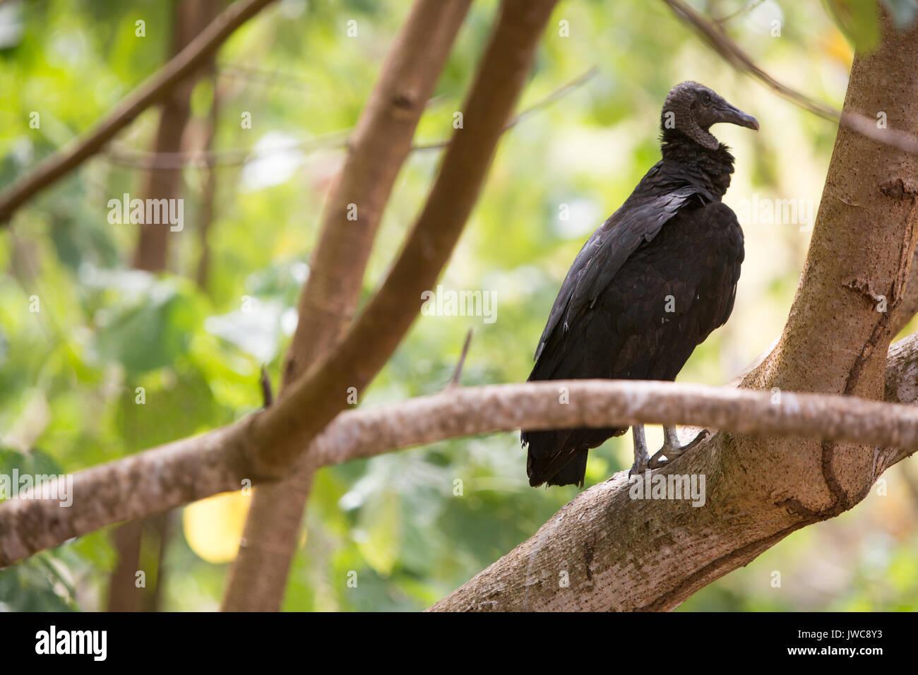 Dans le parc national de Coiba Isla,un vautour noir se trouve perché sur un membre de l'arbre. Photo Stock