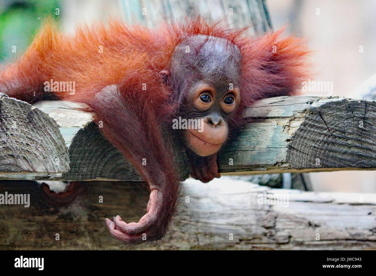 Un bébé orang-outan de jouer sur une plate-forme de primates. Photo Stock