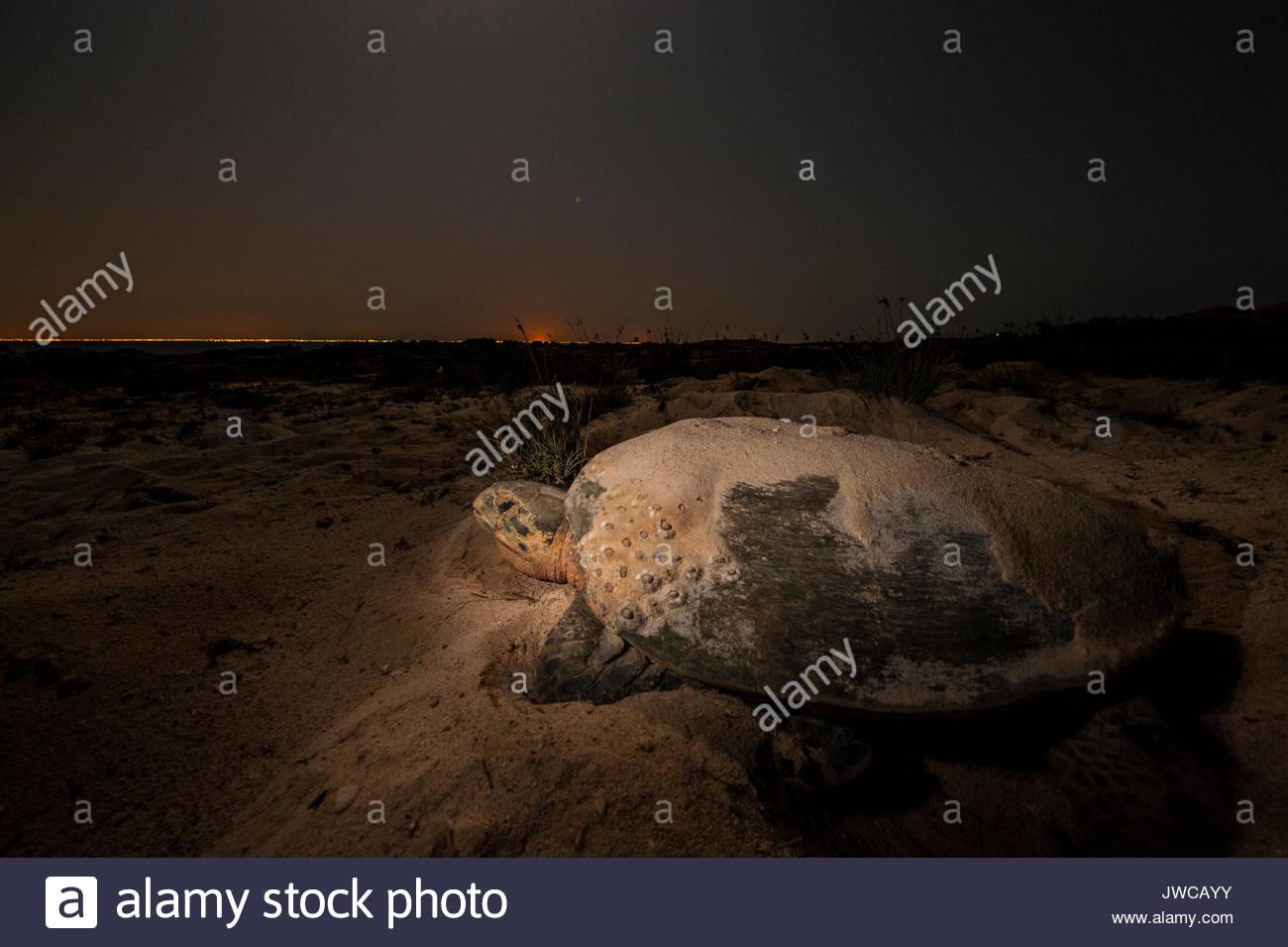 Une tortue imbriquée Eretmochelys imbricata,,en Oman, la réserve naturelle des îles Daymaniyat. Banque D'Images