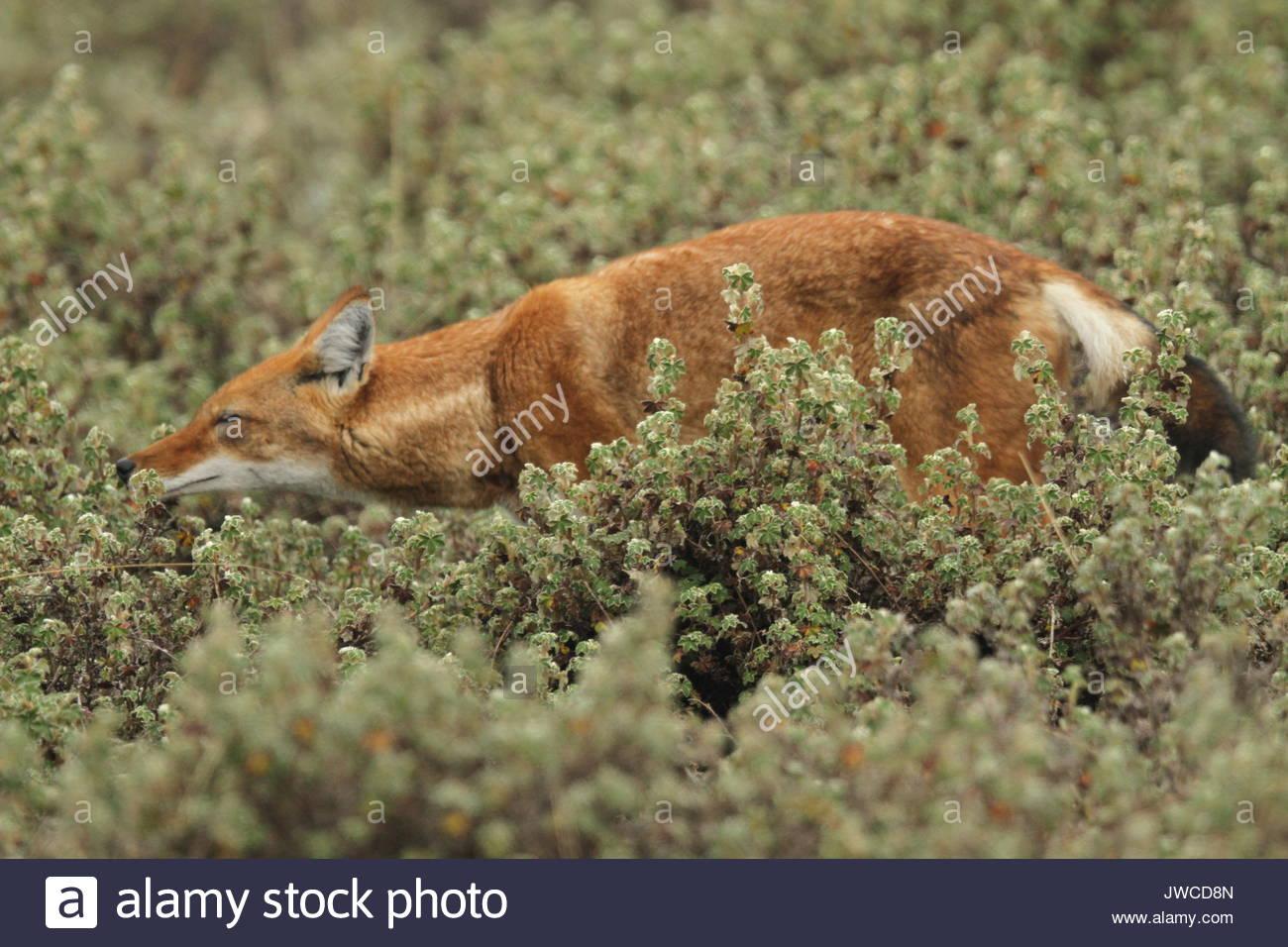 Un loup éthiopien Canis simensis,,promenades à travers la végétation dans le Parc National des Montagnes de balle. Photo Stock