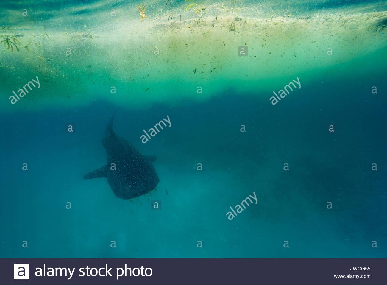 Un requin-baleine nage sous un patch de Trichodesmium algues. Photo Stock