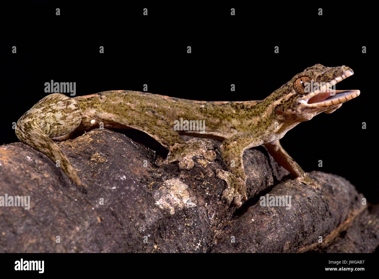 Gecko à queue de navet géant, Thecadactylus rapicauda Banque D'Images