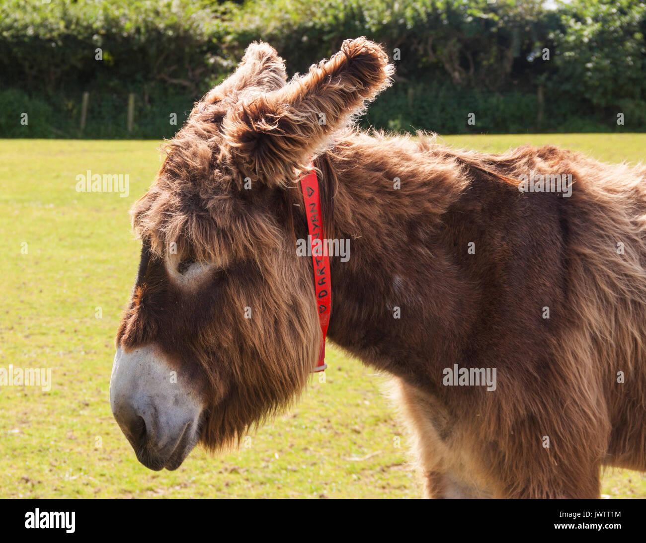 Dartanyan, un âne aux cheveux longs au sanctuaire des ânes de Sidmouth Photo Stock