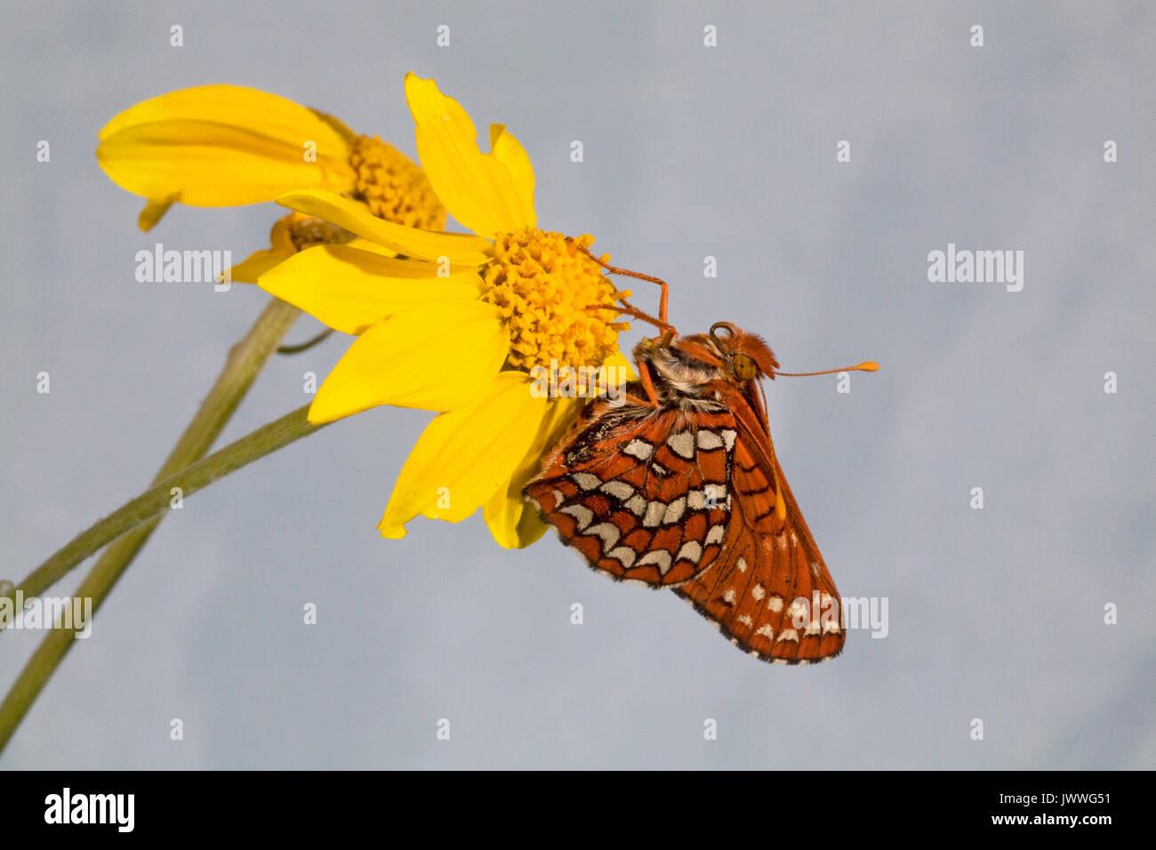 Un chalcedona papillon damier au repos sur une fleur sauvage dans la chaîne des Cascades en Oregon Photo Stock