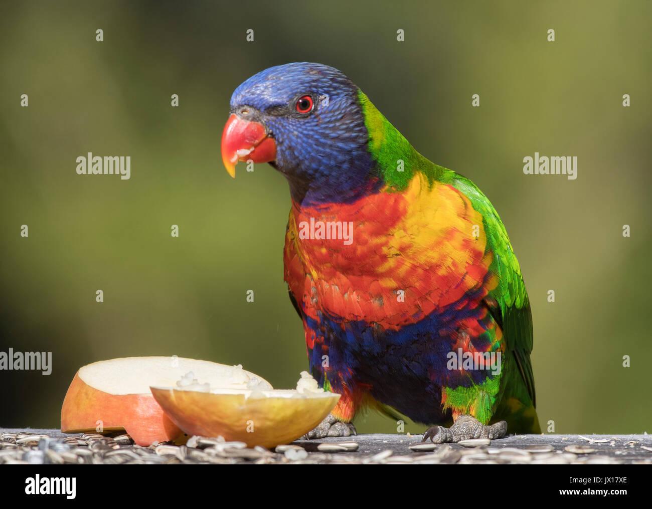 Rainbow loriquets verts peuvent être trouvés à travers l'Australie, ces oiseaux sont très vivement colorées apprivoiser et peut être trouvé sur divers Australian les étiquettes des produits. Photo Stock