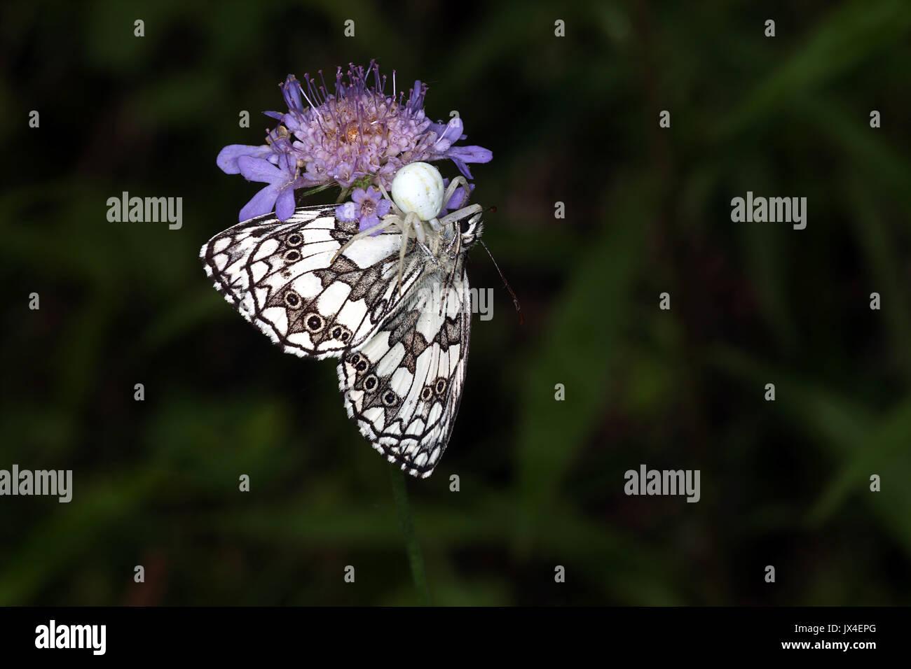 Araignée crabe attraper un papillon blanc marbré Banque D'Images